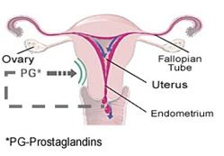 Menstrual Cramps Prostaglandins